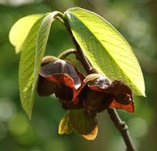 Pawpaw Tree Seeds